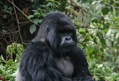 Gorilla-Trecking Gruppe