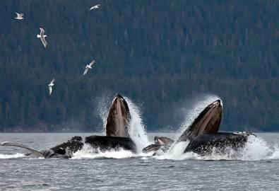 Alaska Buckelwale