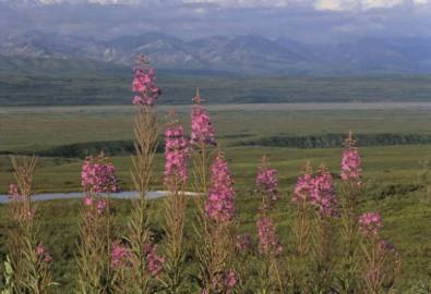 Alaska Denali Fireweed