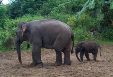 Myanmar Ngapali Elefanten