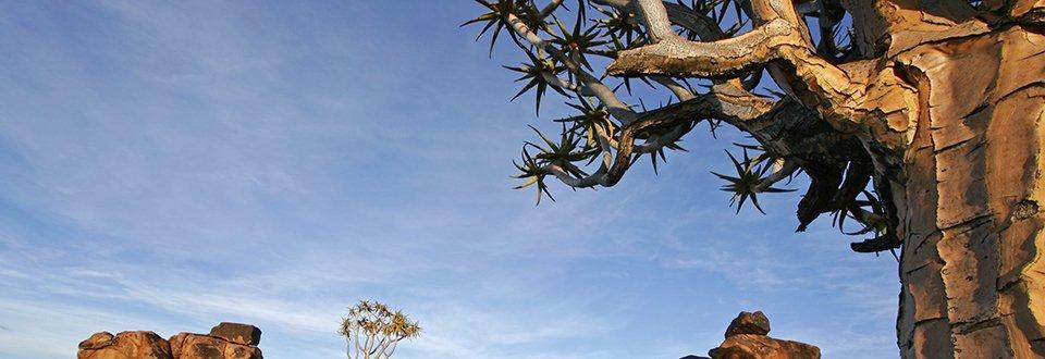 Namibia Felsen Köcherbaum