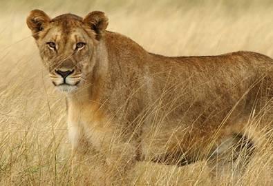 Namibia Löwin