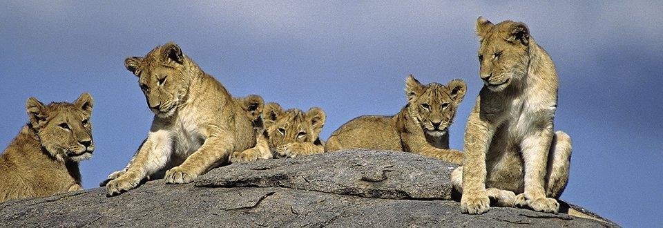 Tansania Löwen
