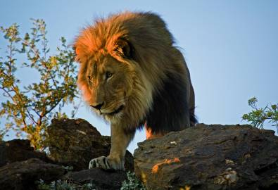 Namibia Löwe