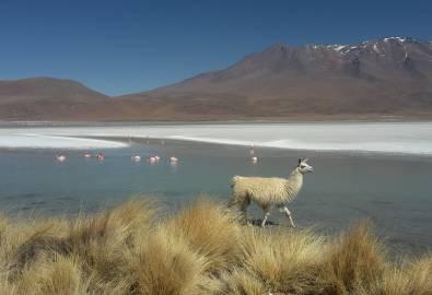 Bolivien Flamingos