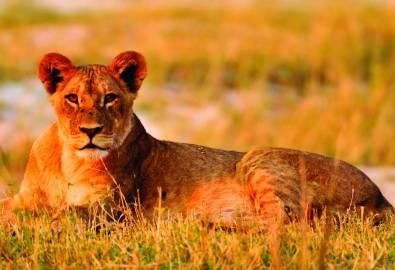 Namibia Safari Löwe