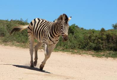 Addo Nationalpark Zebra