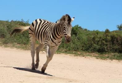Addo Nationalpark Zebra