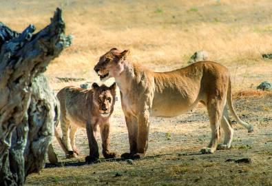 Simbabwe - Löwen