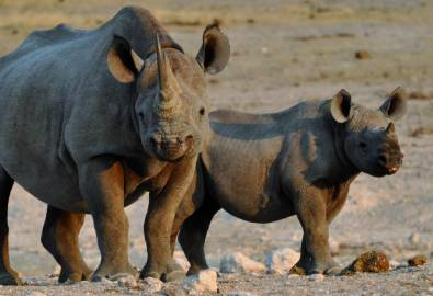 Namibia Nashörner
