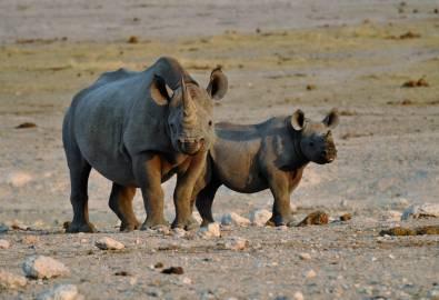 Namibia Nashorn Baby