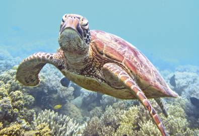 Sea Turtle off Low Isle, Great Barrier Reef, QLD