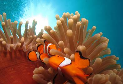 Clownfish, Great Barrier Reef, QLD