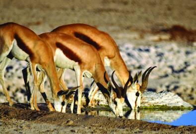 Namibia Gazelle