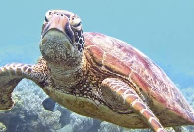 Sea Turtle off Low Isle, Great Barrier Reef, QLD