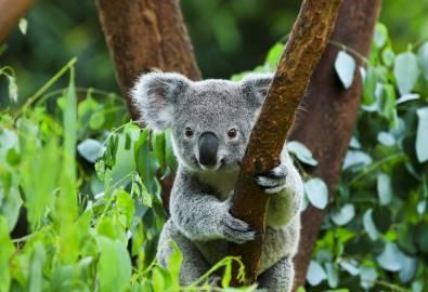 AU_Koala_Shutterstock-156828686