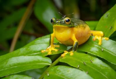 Dainty Green Tree Frog (Litoria gracilenta)