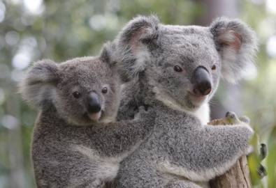 AU_koala-mit-kind_iStock_000011811295Large_ELK