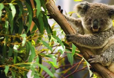 Australien-Koala