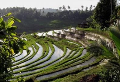 Bali Reisterassen von Blimbing