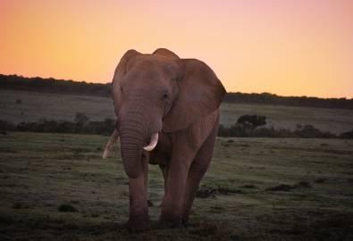Südafrika Elefant Sonnenaufgang