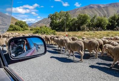 Header_Neuseeland_Mietwagen_Schafe_iStock-1058706634