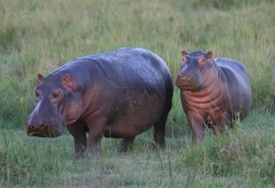 Tansania Nilpferde