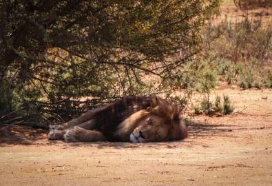 Südafrika Löwe