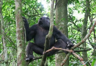 Uganda Schimpanse