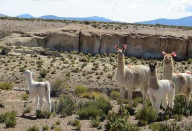 Bolivien Llamas