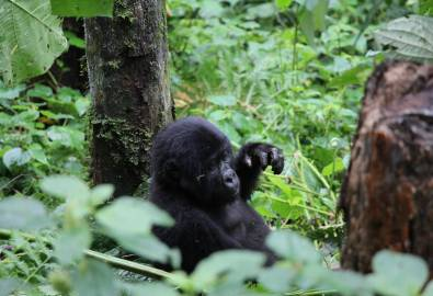 Uganda - Gorilla