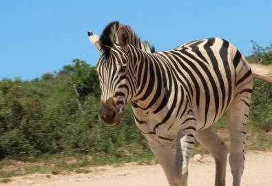 Südafrika Zebra