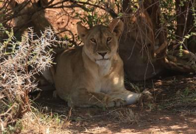 Serengeti Löwin