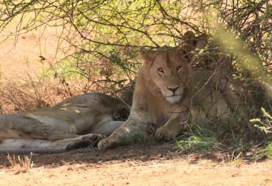 Serengeti Löwe
