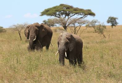 Serengeti Elefanten