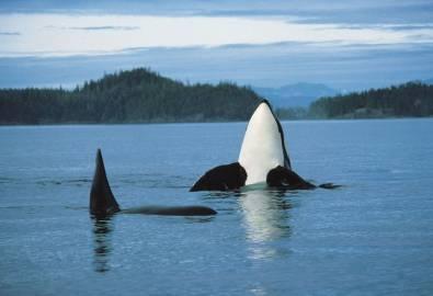 Kanada-Vancouver-Island-Orca