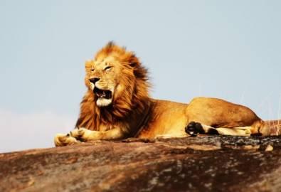 Serengeti Nationalpark - Löwe