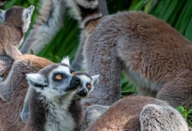 Madagaskar - Lemure