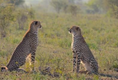 Krüger Nationalpark - Leoparden