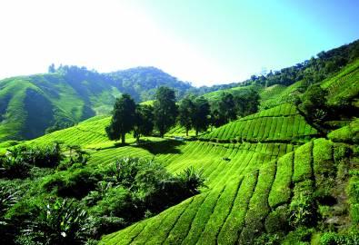 Malaysia - Cameron Highlands_Tea Plantation Moana Concepts