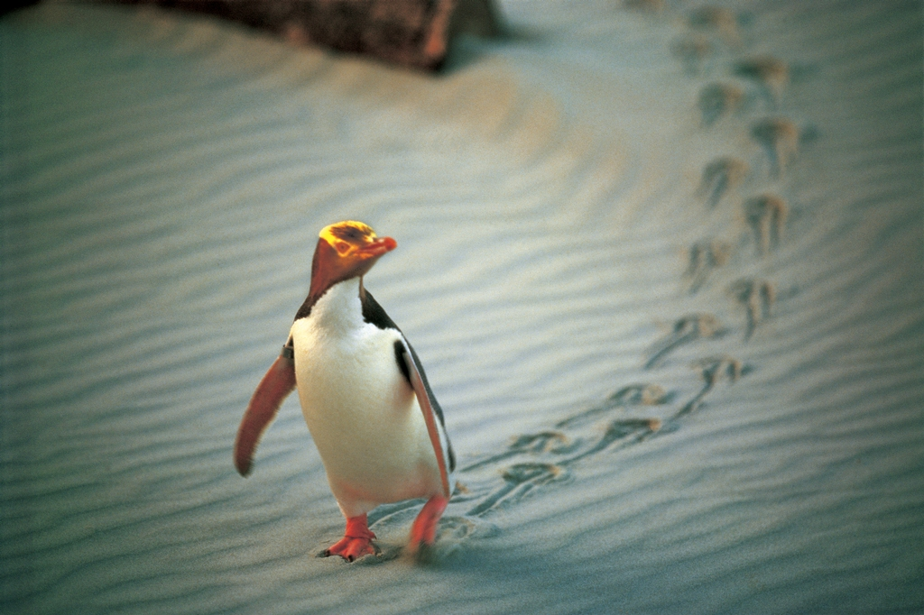 NA02-Penguin-Place-Otago