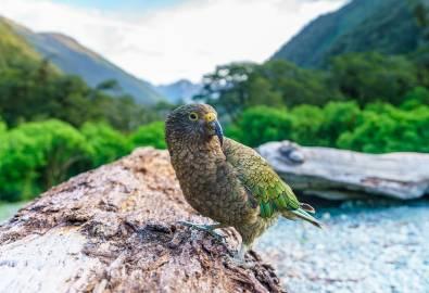 NZ_Kea_shutterstock_1257436585