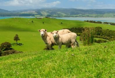 Schafe - Neuseeland