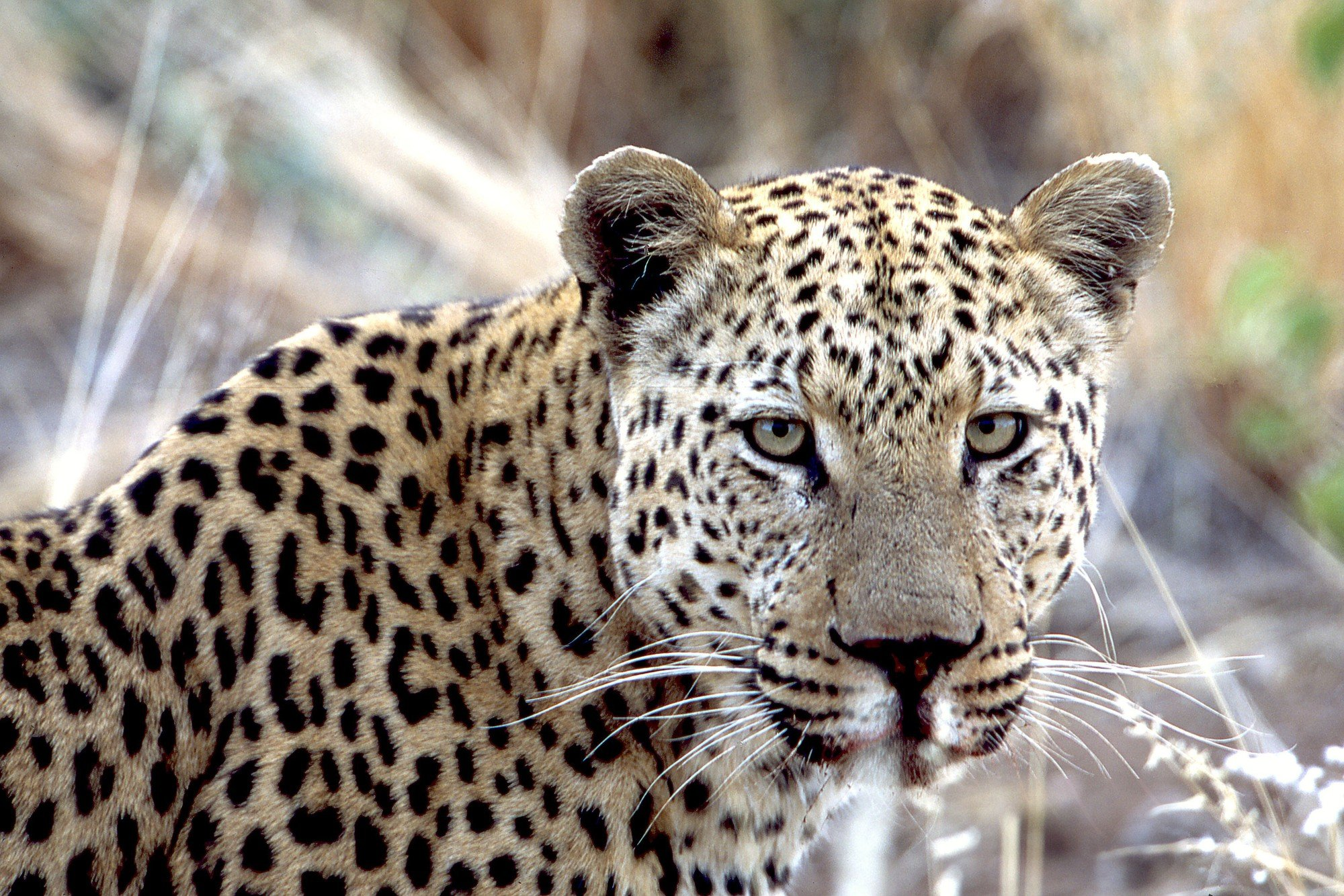 Namibia - Leopard