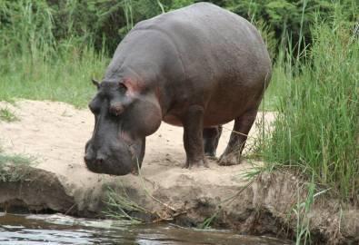 Nilpferd Etosha National Park