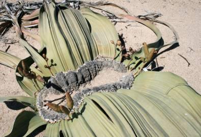Namibia-Namib-Naukluft-Park-Welwitschia-Mirabilis