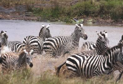 Namibia-Zebras-iStock_000006243158Medium