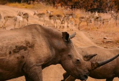 Ziwa Rhino Schutzgebiet - Nashörner