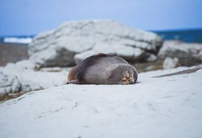 Neuseeland Robbe