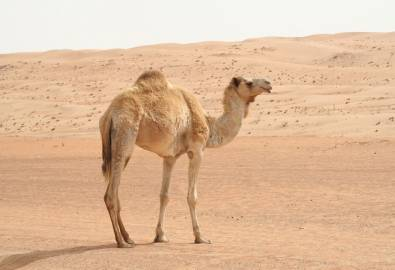 Oman Kamel Wahiba Sands